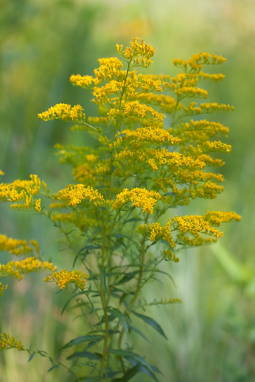 Solidago odora (Sweet goldenrod)