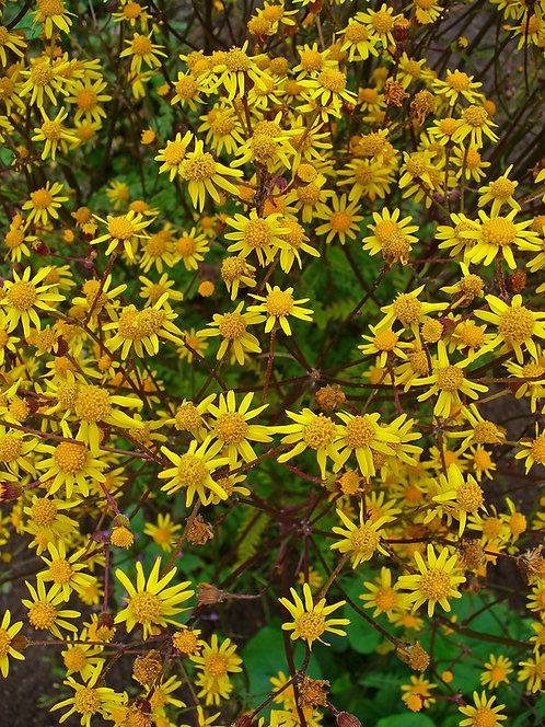 Packera aurea (Golden groundsel)