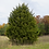 Thumbnail: Juniperus virginiana (Eastern red cedar)