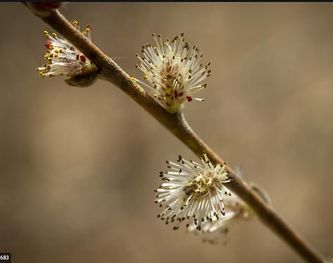 Salix humilis (Prairie willow)