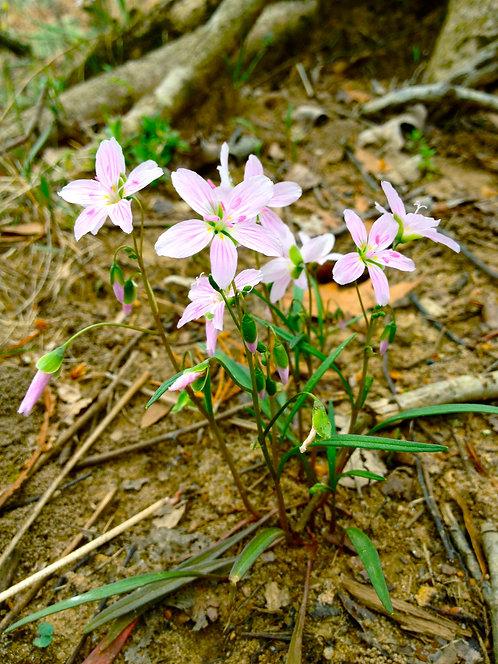 Claytonia virginica (Spring beauty)