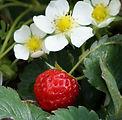strawberry-834947_1280.jpg