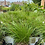 Thumbnail: Carex pensylvanica (Pennsylvania sedge)