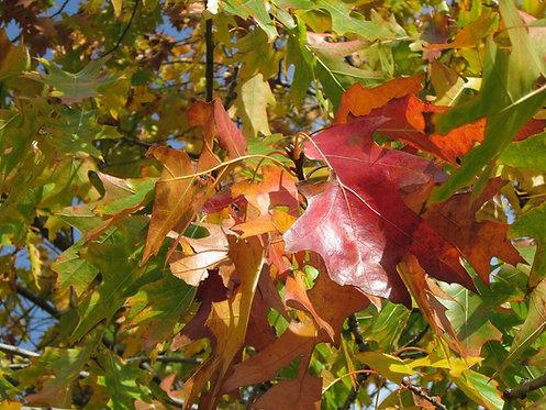 Quercus rubra (Northern red oak)