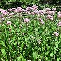 Eutrochium_maculatum_04_edited.jpg