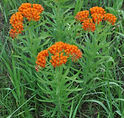 Butterfly_Weed_(Asclepias_tuberosa)_(5910140126).jpg