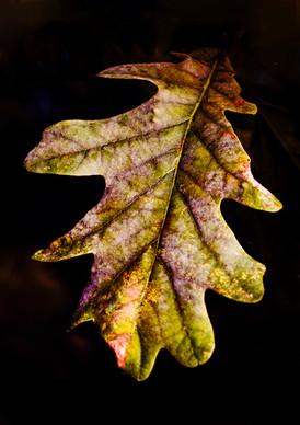 Seasons Changing In A Single Leaf.JPG