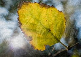 Leaf Enveloped By Leaves.JPG