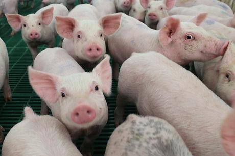 Pigs facing camera -1.jpg
