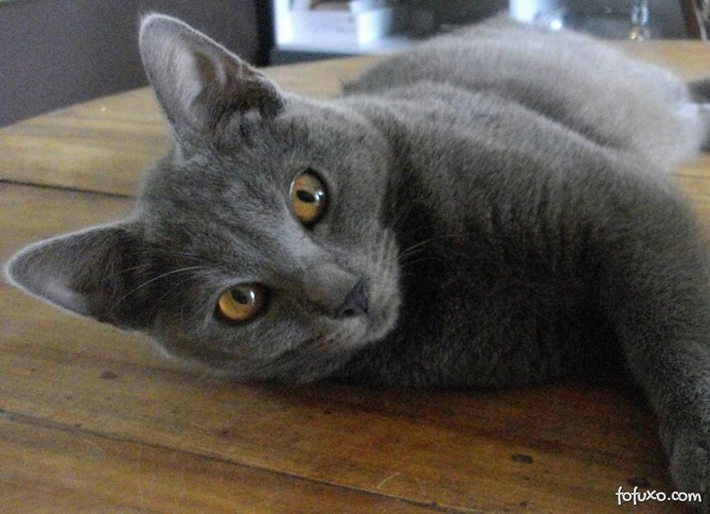 gato adulto