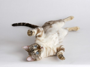 Interpretando a linguagem e o comportamento de seu gato