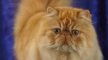 Gato Persa e o Padrão da raça