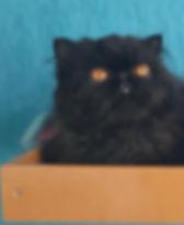 Padreador gatil DeVycas