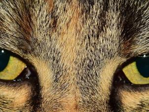 Como funcionam os olhos dos gatos
