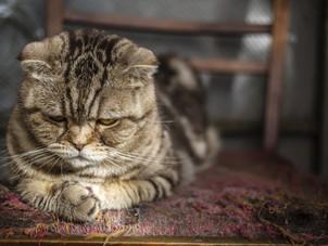 Doença renal é irreversível em gatos