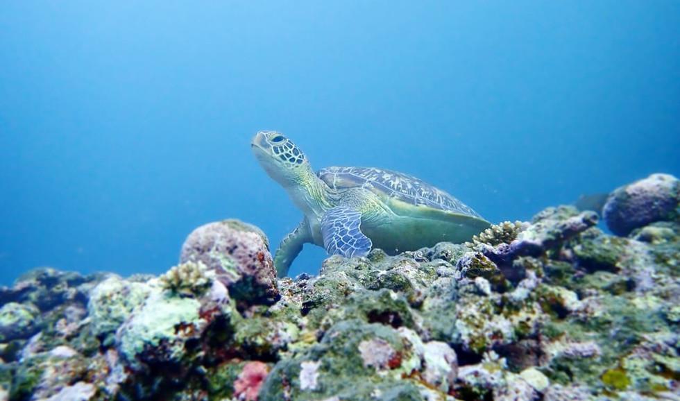 海亀はいつ見ても幸せな気分になります watching sea turle always make  us happy.
