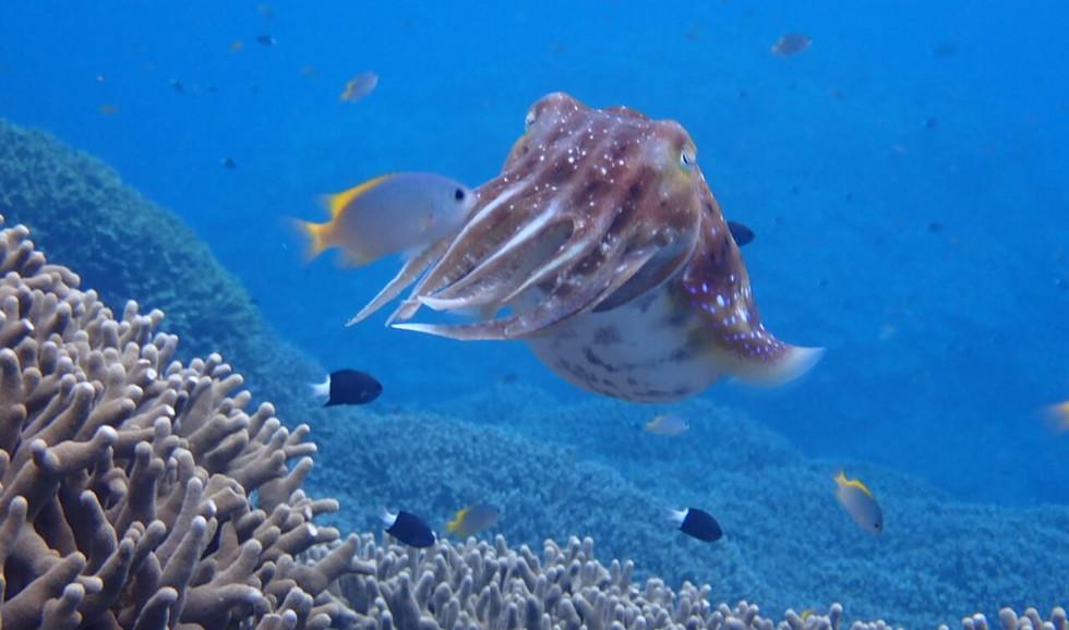 不思議な形をしている生物にも会えるかも。 Cuttle fish