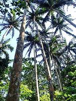 yaeyama palm tree park in Ishigaki