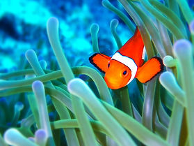 Anemone fish ishigaki