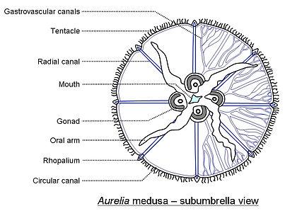 Aurelia medusa subumbrella view Cronodon