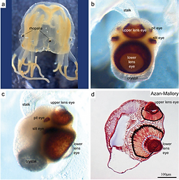 cubozoan rhopalia Skogh et al 2006.png