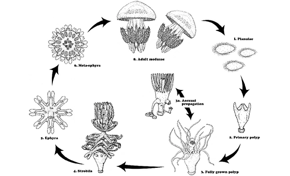 The-life-cycle-of-the-scyphozoan-Rhizost