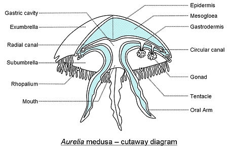 Aurelia medusa cutaway Cronodon.jpg
