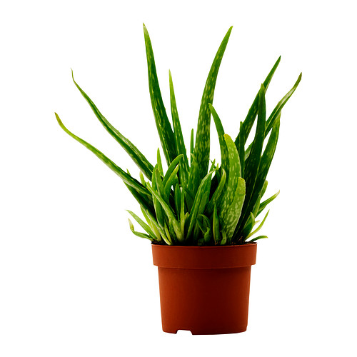 Try growing an Aloe Vera plant at home and hand-fillet, for your own soothing gel at home.