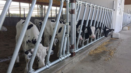 Calving at the dairy has been exceptional in preparation for the Olmsted County Fair Birth Center