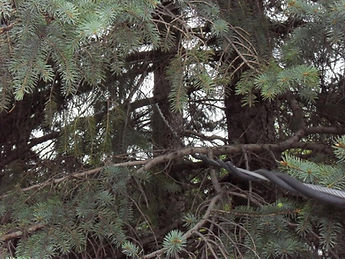 Trees-Rubbing-on-wires1.jpg