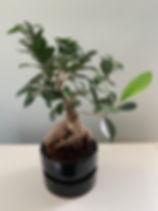 Bonsai.jpeg