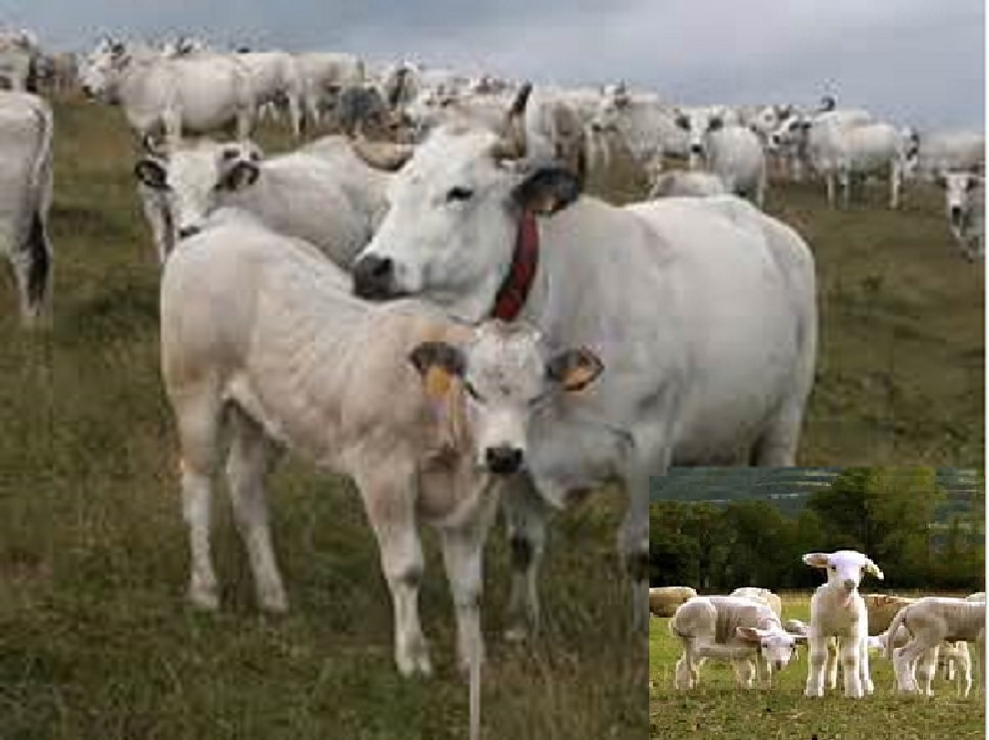 bovins + agneau