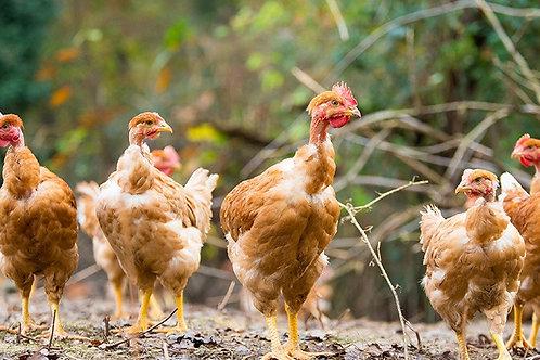 poulet fermier  pret a cuire environ 1.8kg