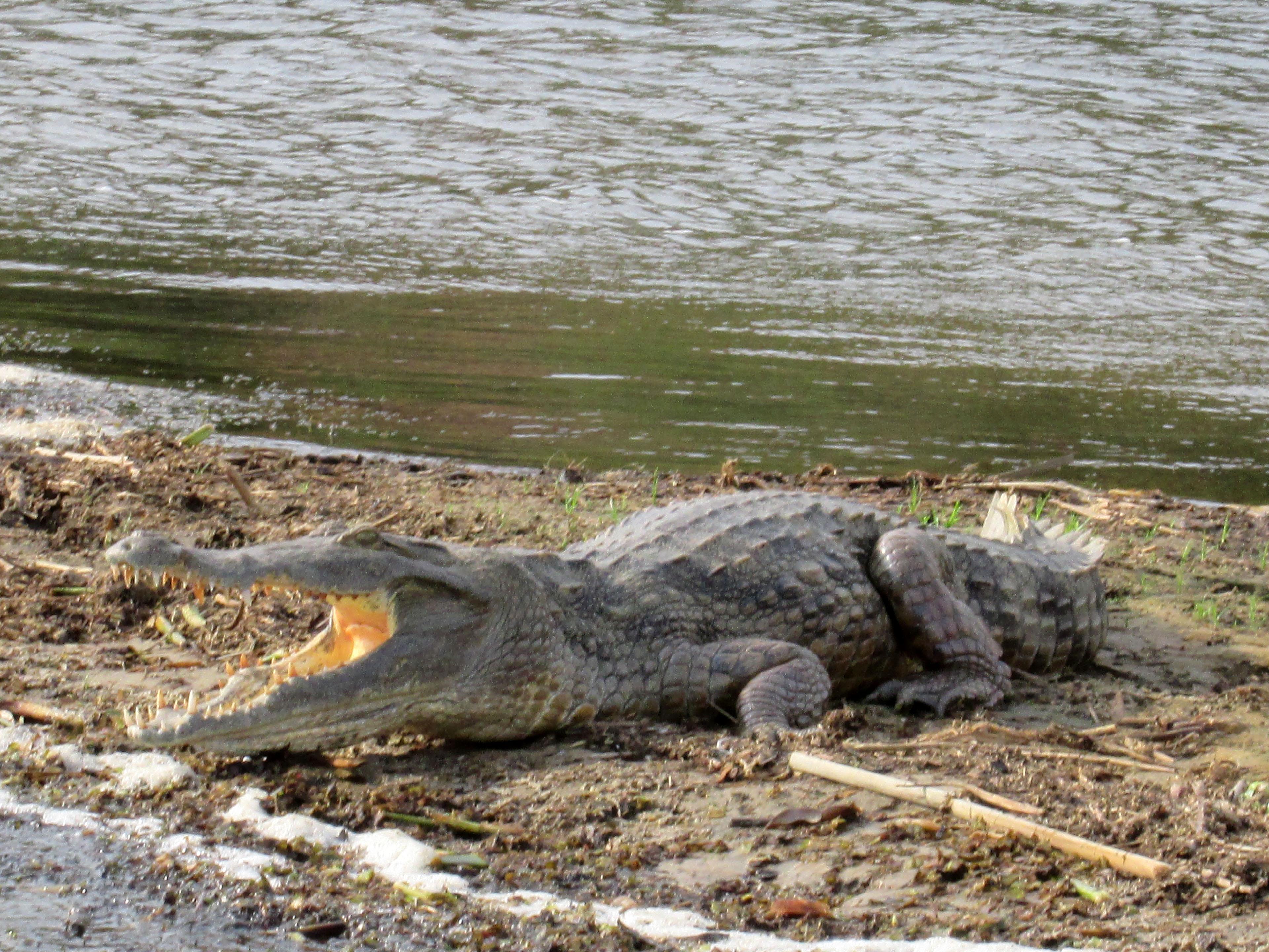 Krokodil im Nil