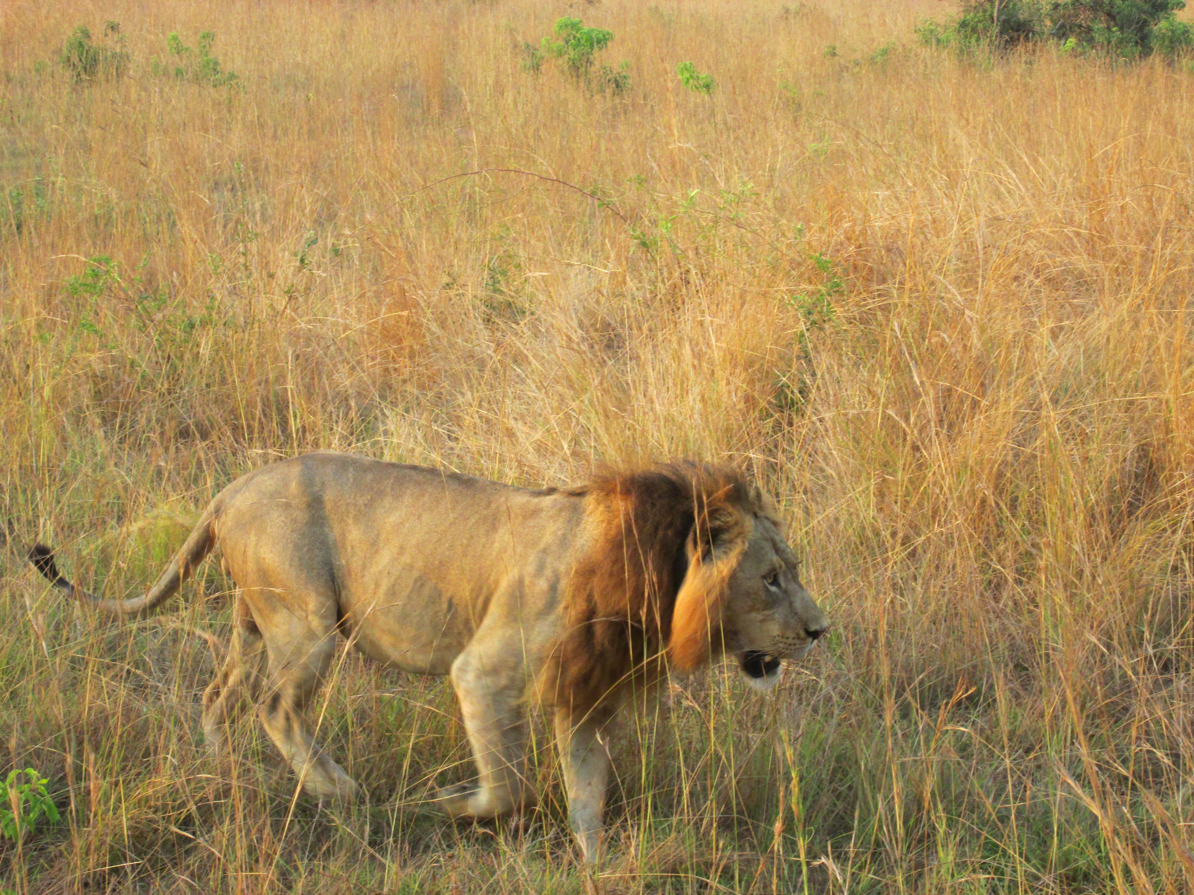 Löwe, der König Afrikas