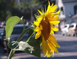 06-Photography-08855-Sunflower