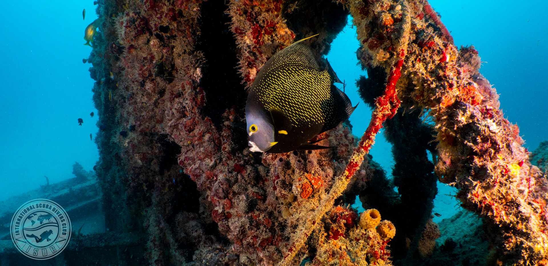 French Angel Fish Concepcion Wreck