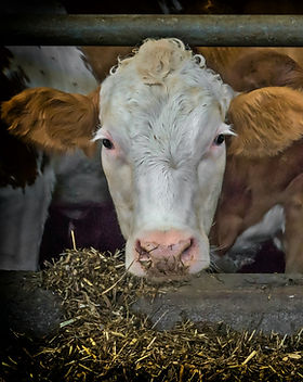 cows-3794604_1920.jpg