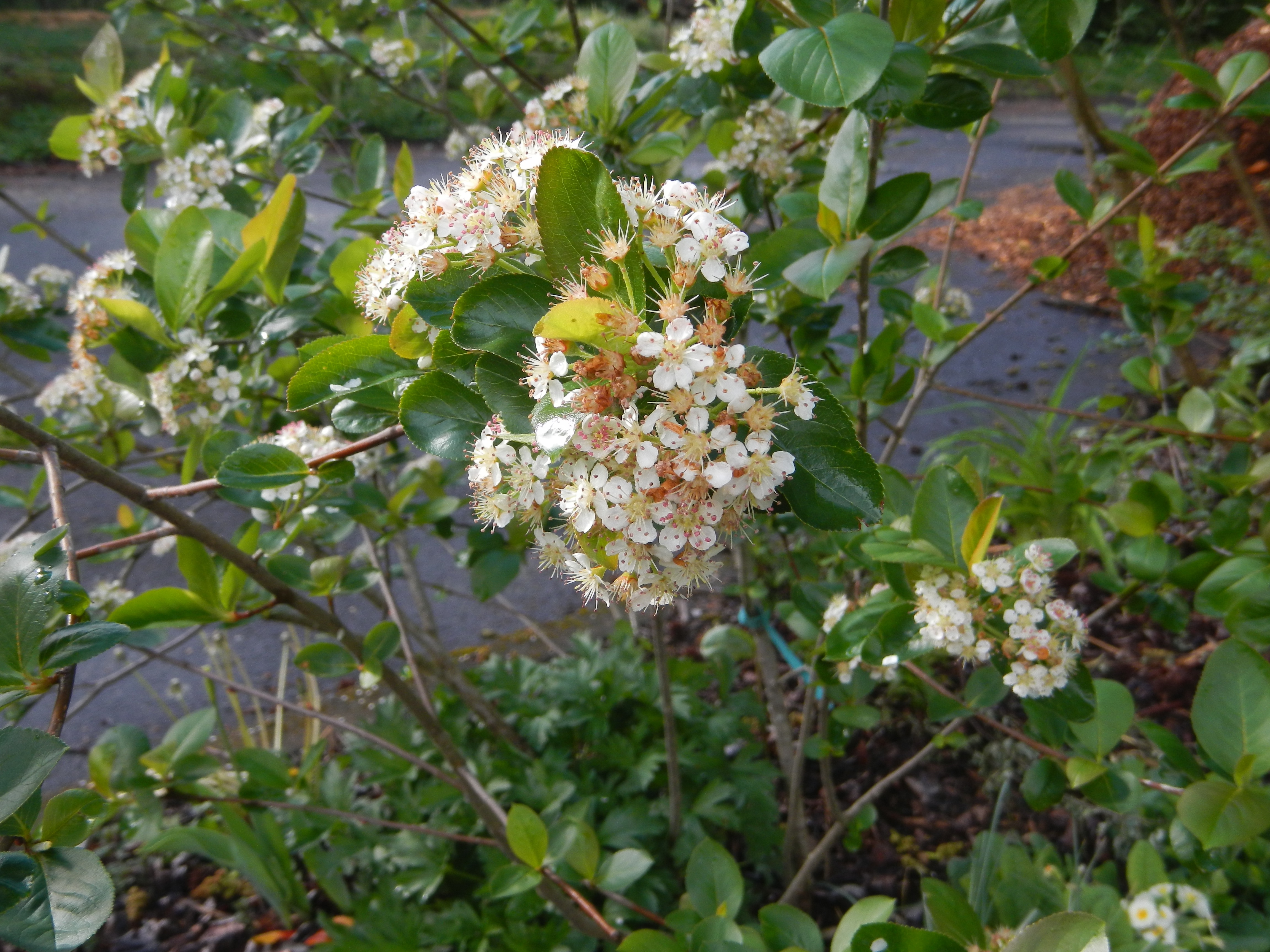Aronia Berry in flower