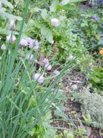 Garden Chives