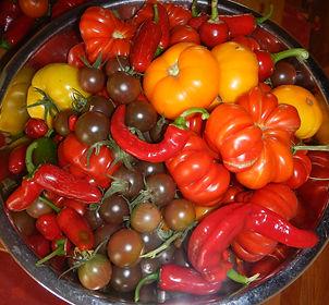 Garden grown produce for salsa