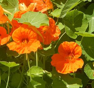 Nasturtiums are tasty edible flowers!