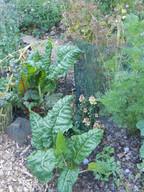 _chard garden.JPG