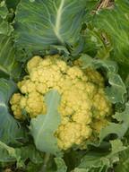 _cauliflower.JPG