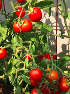 tomatoes 2015.jpg 2015-12-18-21:36:14