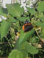 _butterfly on tomatillo.JPG