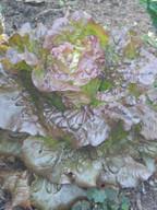 _red leaf lettuce.JPG