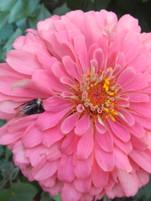 Zinnia with bee