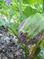 _listada eggplant.JPG