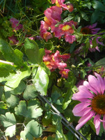 Echinacea with Snapdragon